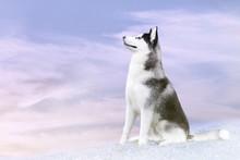 husky on the north