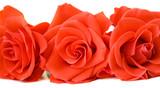 Fototapeta czerwony - kwiat - Kwiat