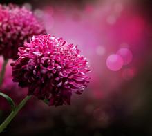 """Постер, картина, фотообои """"Dahlia Autumn flower design. With copy-space"""""""