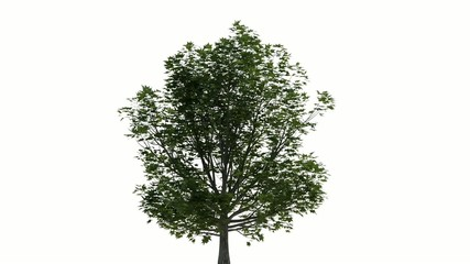 Photorealistic Tree Animated with Wind, including Alpha Channel