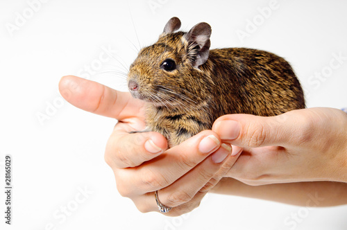 Degu on hand isolated on white background