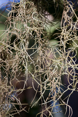 Close Up Strands of Hanging Spanish Moss