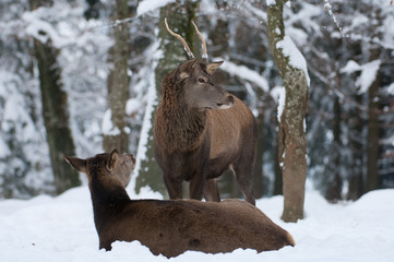 Rothirsch, Red deer, Cervus elaphus