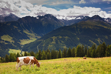 Cows pasturing on meadows high in the mountains