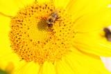 Fototapeta kwiat - słońce - Insekt