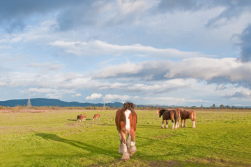 Clydesdale Horses Under Threatening Skies