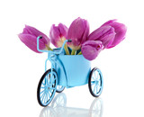 Fototapety purple tulips in a blue Dutch bycicle isolated over white