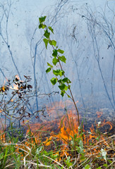 Young birch and fire 7