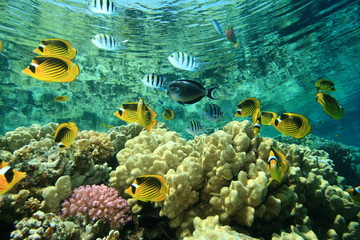 School of Fish: Butterflyfish and Sergeants on coral reef