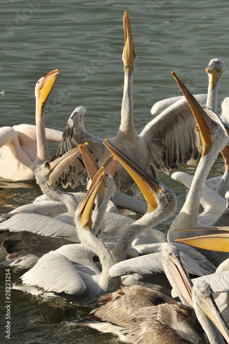 pelicans fighting over food