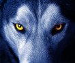 beautiful eyes of a wild wolf. - 28227019