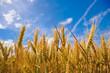 Wheat plant meadow under a blue sky