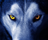 Fototapety beautiful eyes of a wild wolf.