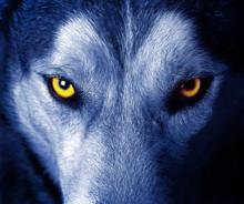 """Постер, картина, фотообои """"beautiful eyes of a wild wolf."""""""