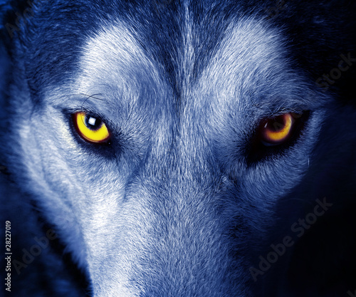 Foto op Aluminium Wolf beautiful eyes of a wild wolf.