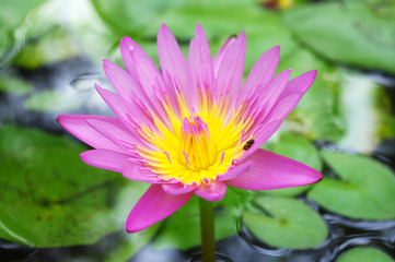 close up of beautiful lotus in a pond