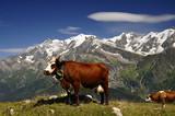 Vache tarine et Mont Blanc