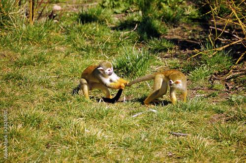 Foto op Canvas Aap Common Squirrel Monkey