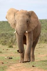 African Elephant Walking