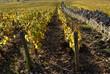 Vignoble de Meursault, en octobre 01