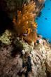 anemonefish and anemone.