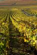 Vignoble de Meursault, en octobre 03