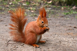 Fototapety Red Eurasian squirrel