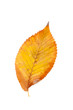 Beautiful yellow autumn leaf isolated on a white background
