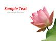 Detaily fotografie růžový waterlily na bílé