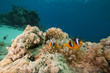 Bubble anemone and anemonefish.