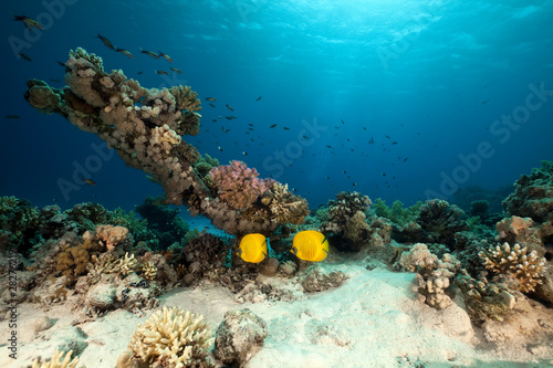 Masked butterflyfish. coral and ocean.