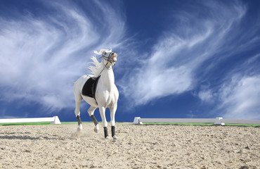 Beautiful white horse ready to perform in a sand arena