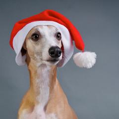 Windhund Portrait mit Nikolausmütze