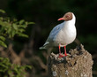 Black-headed Gull sitting on the stub