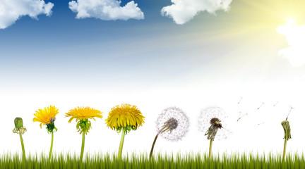 dandelions life under sun