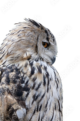 Fotobehang Uil grey owl isolated on white background