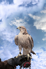 falcon perched on leather gloved hand