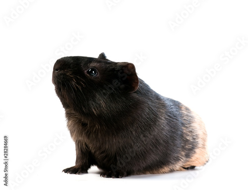 brown cavy on white background