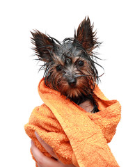 Wet Yorkshire terrier with orange towel