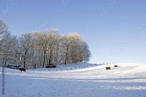 Schneebedeckte Winterweide im Gellowayrindern