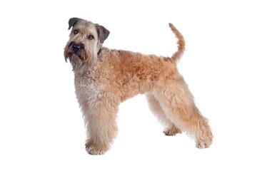 Soft coated terrier dog