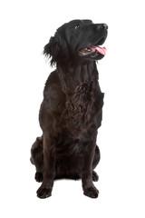 Mix flatcoated retriever/golden retriever dog
