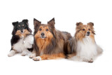 Shetland Sheepdogs(Shelty) poster