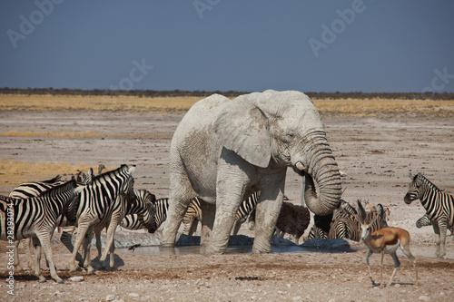 Elephant i zebry