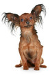 Russian  long-haired toy terrier breed dog