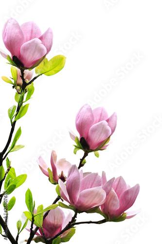 Fotobehang Magnolia Spring magnolia tree blossoms