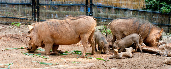 Warthog Family and Rhinoceros