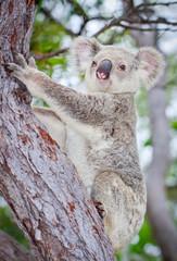 Wild koala climbing a tree