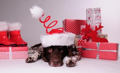 Münsterländer, Hund, Weihnachten