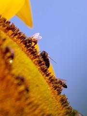 Bees on sunflower